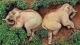 """西双版纳两头野象偷喝30公斤包谷酒后醉倒茶园""""酣睡""""?官方回应来了!"""