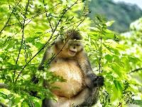 九月,到维西看滇金丝猴