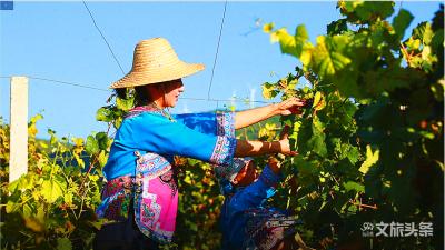 甜度爆表,弥勒这里的葡萄全年能采摘,入园随便吃!