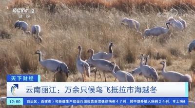 央视视频|云南丽江 万余只候鸟先期飞抵拉市海湿地越冬