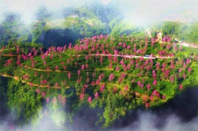 """12月,去无量山樱花谷赴一场与浪漫""""春天""""的约会"""