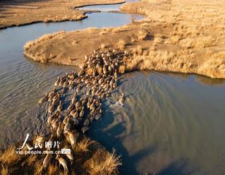 江苏泰州:麋鹿冬日晒暖阳