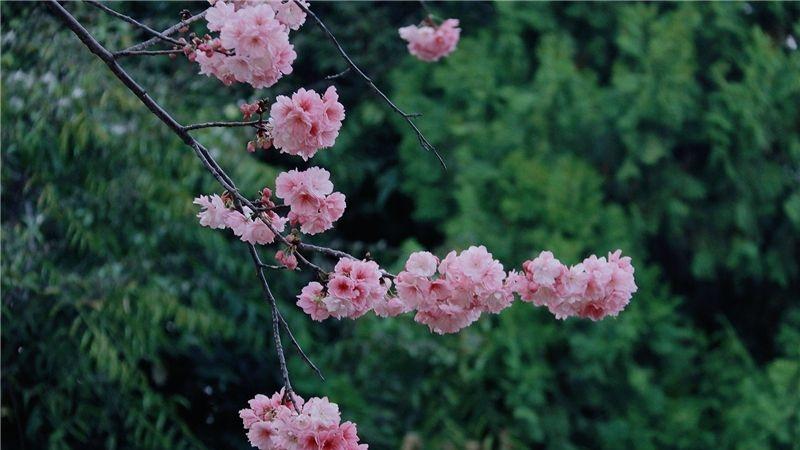 图集|去圆通山 奔赴一场樱花之约