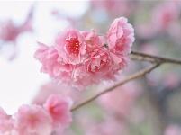 图集 去圆通山 奔赴一场樱花之约