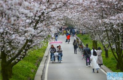贵安樱花园开园迎来首个周末 36000余人入园赏花