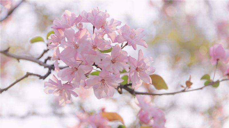 图集|圆通山海棠迎春 赏花正当时