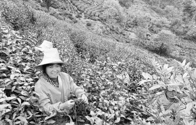 """把""""小叶子""""做成富农大产业 安徽出台意见做大做强茶产业"""