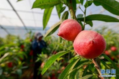 河北丰南:错季水果助农增收
