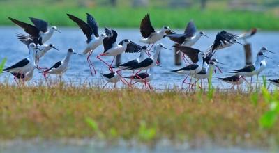 "COP15|""大长腿""!51只黑翅长脚鹬迁徙过境保山青华海"