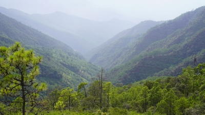 COP15丨楚雄州永仁县茶尖石上的地盘松