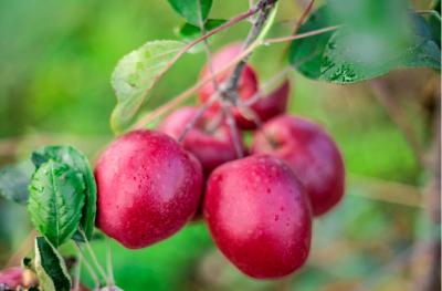 【乡村振兴】西山区现代苹果示范园迎来丰收季