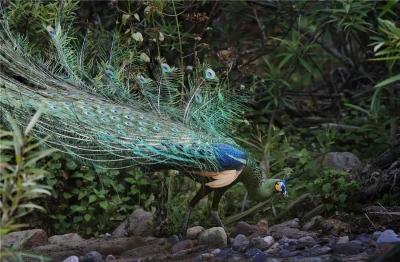 COP15丨绿孔雀野外种群数量增至260只 楚雄州野生动物保护显成效