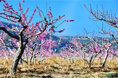 丽江拉市7500亩桃花盛放
