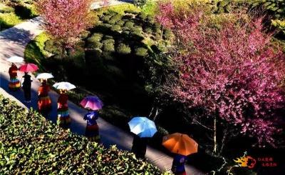 寻觅冬日里的浪漫!双柏白竹山冬樱花等你来赏